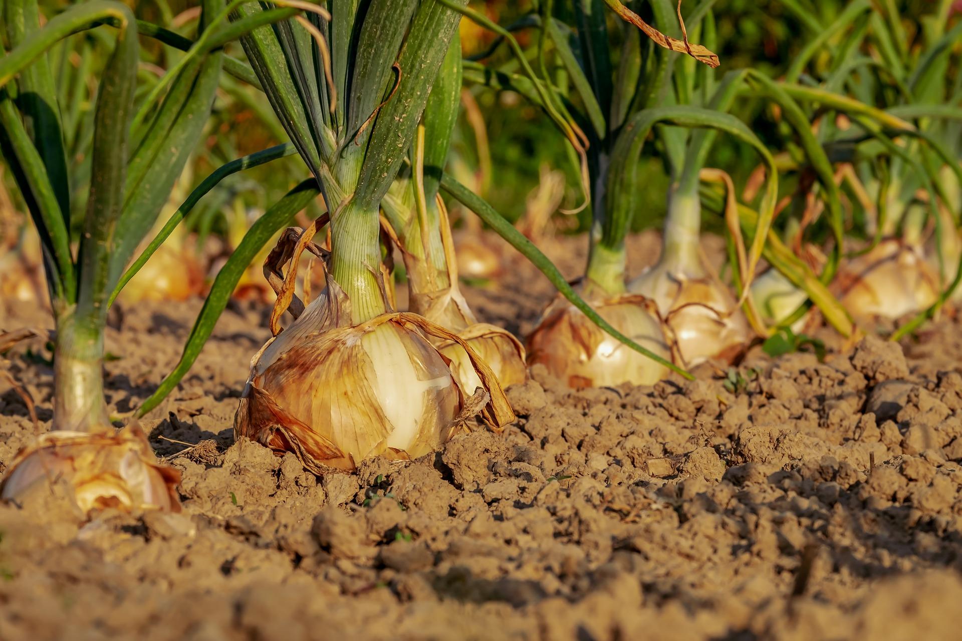 GYCAF onion-3540502_1920